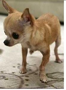 TABELLA PESI Del Chihuahua